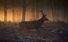 Lord of Light (alex saberi) Tags: richmondpark richmond london uk england deer stag forest magical reddeer nat geo alexsaberi woods mist fog haze animals wildlife nature