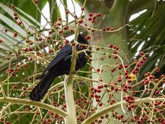Wildlife-114474 (Life is so Short) Tags: birds pacifickoel stormbird wildlife