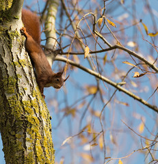 A l'envers - Upside down (bboozoo) Tags: nature wildlife cureuil squirrel canon6d tamron70300 arbre tree leaf feuille animal