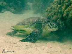 Sleeping Turtle (Alexandra1183) Tags: gypten diving marsashagra schildkrte tauchen egypt turtle rotesmeer redsea
