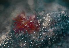 Light trap (V Photography and Art) Tags: rain droplets sunlight naturallight net mesh redleaves leaf bokeh dof macro