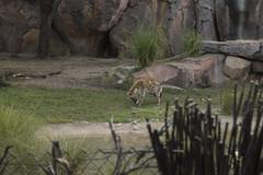 Animal Kingdom (jackie.moonlight) Tags: walt disney world orlando florida epcot animal kingdom park kilimanjaro safari ride savannah hyena