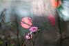 IMG_9992 (::Lens a Lot::) Tags: paris | 2016 rollei rolleinarmc 85 mm f 28 1978 6 blades iris qbm f28 bokeh depth field color flower vintage manual close up german germany west made japan fixed prime lens extérieur fleur plante profondeur de champ
