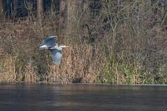 DSC_2487.jpg (Saztul) Tags: bird heron reiher wildlife nature natur vogel emstek niedersachsen germany de