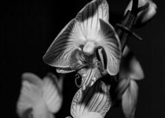 Orchid (toqo) Tags: canon schwarzweiss blackwhite sigma elements orchidee orchid flower blume flash strobist dark dunkel indoor innen natur