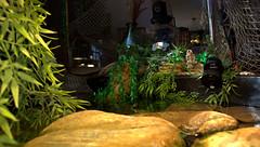 IMG_3984.CR2 (jalexartis) Tags: yellowbelliedsliderturtles yellowbelliedsliderturtle yellowbelliedslider ybst basking bask baskingrock baskingstone turtlebaskingarea aquatichabitat aquarium aquatic home interior interiordecorating indoorpond