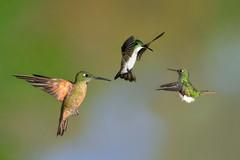 Hovering (3569L) (Bob Walker (NM)) Tags: bird hummingbird ecuador tandayapa bootedrackettail ocreatusunderwoodii fawnbreastedbrilliant heliodoxarubinoides amaziliafranciae andeanemerald 50kmnwofquito pichinchaprovince