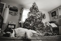 Watching Arthur Christmas (grilljam) Tags: christmaseve december2016 winter bitzer puppy bulldoglabmix seamus 4yrs