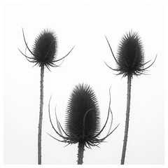 ... (a.penny) Tags: distel thistle square quadrat 1x1 500x500 apenny iphone snapssed silhouette explore