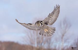 ''A la chasse!'' Choette épervière/ Northerm hawk owl