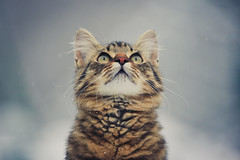 Regarder les flocons de neige (N'Grid) Tags: chat cat katze kitten portrait chips 150600 150600mm sigma sigmacontemporary canon canon7dmarkii 7dmarkii 7dmark2 thecatwhoturnedonandoff littledoglaughedstories