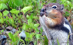DSC_0699 (rachidH) Tags: squirrel écureuil rodents goldenmantledgroundsquirrel spermophiluslateralis callospermophiluslateralis spermophileàmanteaudoré écureuilterrestreàmanteaudoré spermophileàmanterayée logan pass loganpass westglaciernationalpark montana rockymountains mt rachidh nature