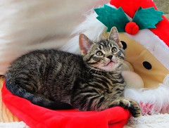 Santa and the Christmas Kitten (janroles) Tags: canon powershot sx130 is santa fatherchristmas nature tabby eyes whiskers flickr mammal friendly playful animalplanet feline england chat katze