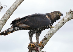 Crowned Hawk-Eagle (Stephanoaetus coronatus) with prey ... (berniedup) Tags: crownedhawkeagle stephanoaetuscoronatus eagle taxonomy:binomial=stephanoaetuscoronatus crownedeagle bird animal hluhluweimfolozi hluhluwe