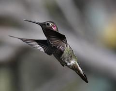 Anna's Hummingbirds (larryvenus) Tags: infocus hummingbird hummingbirds annashummingbirds ucsantacruz ucsantacruzarboretum montereyhummingbirds santacruzhummingbirds nikon nikonphotography nikond500 tamron tamron150600mmg2