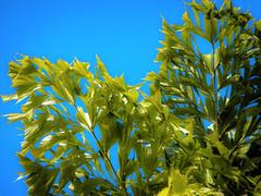 Fishtail palm near Hanoi in Vietnam (elizabatz.jensen) Tags: tropical leaves leaf fishtail palm hanoi vietnam