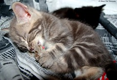 kitten (Simon Dell Photography) Tags: baby black cute cat grey kitten tortoise shell fluffy cilver