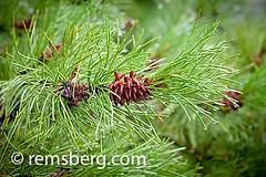 Pine cones (Pinus) growing on a branch (Remsberg Photos) Tags: wild plants usa nature wet rain horizontal alaska pinetree garden living natural colorphotography young nopeople seeds depthoffield growth pineneedles alive growing pinecone waterdrops horticulture fairbanks plantlife digitalimage detailed intricate pinus greenlife