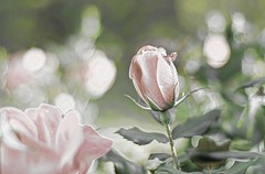 50mm roses (shannon4462) Tags: rose 50mm bud bleached