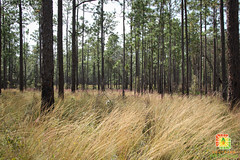 IMG_1303 (southernfireexchange) Tags: ecology pine forest project fire science southern burn national restoration exchange controlled ecosystem apalachicola upland prescribed longleaf