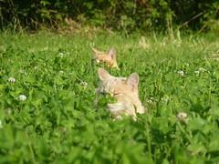 Cats in the grass (XBHS1997 (Nicolas)) Tags: cats cat chats chat katze katzen swisscats catsinswitzerland