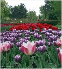 Parc Floral, Vincennes (alcowp) Tags: park flowers paris france tourism fleurs spring tulips canong3 printemps fra vincennes parcfloral
