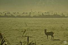 My Deer (jennifer.stahn) Tags: nebel jennifer schwan sonnenaufgang ruhr ruhrgebiet reh bock ruhrwiesen stahn