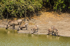 Family Drinks (iamfisheye) Tags: africa camera camp lens african olympus safari zimbabwe kit pan 50200mm zuiko kanga warthog 2014 em1 manapools zd