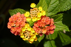 "Colour change by flowers of a ""Spanish Flag"". (Bienenwabe) Tags: flower macro lantana lantanacamara flowermacro spanishflag verbenaceae wandelrschen flowercolors"
