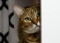 Watching (nikagnew) Tags: cat bathroom nose eyes sitting tabby watching shelf whiskers peek peer browntabby