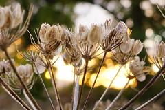 Dawn Light (nancy II) Tags: sunlight nature dawn bokeh seeds cowparsley myautumn