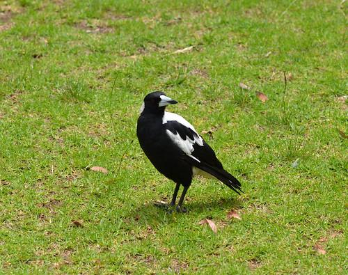 001 Australian magpie (Cracticus tibicen), Belair National Park, South Australia
