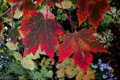 Early Maple Leaves (Tim_NEK) Tags: autumn leaves vermont