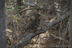 "Spruce Grouse • <a style=""font-size:0.8em;"" href=""http://www.flickr.com/photos/63501323@N07/15431651750/"" target=""_blank"">View on Flickr</a>"