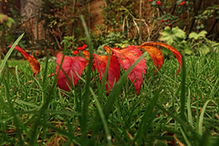 Autumn's red - [Explored 24-10-14 ] (Bon Espoir Photography) Tags: autumn green grass leaves redleaves sonyrx100