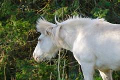 Caballo (pabliscua) Tags: horse argentina caballo nikon mardelplata 70300 d5100