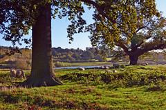 Autumn Sheep (AndyorDij) Tags: autumn sheep oak trees tree barnsdale rutlandwater barnsdalehill rutland uk england 2014 andrewdejardin