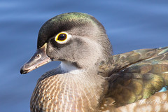 A young female wood duck.