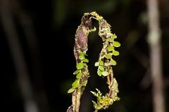 Neooreophilus sp. (PenduSeb - 2670m) Tags: santander orquideas labelleza penducella neooreophilus