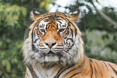 Proud._ (Capt'n Red Beard) Tags: proud cat big tiger cymru stripe snowdonia majestic llandudno conwy colwyn mountainzoowaleswelshwildanimalssonya60002014