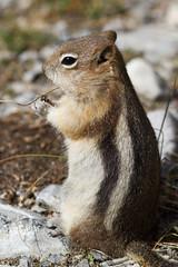 Golden-mantled ground squirrel (Ed Swift) Tags: canon squirrel ground 7d sulphurmountain 2014 goldenmantledgroundsquirrel 300mmf4lis goldenmantled