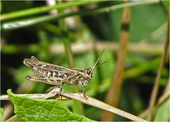 Grasshopper in 3D..:) ( Annieta ) Tags: holiday canon bug denmark vakantie powershot grasshopper augustus allrightsreserved denemarken sprinkhaan danemark 2014 annieta abigfave sx30is usingthisimagewithoutmypermissionisillegal