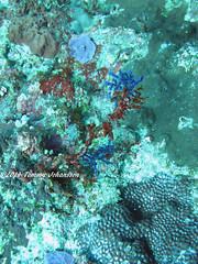 Underwater wonderland (tommyajohansson) Tags: vacation holiday coral indonesia geotagged vacances asia southeastasia underwater urlaub diving scubadiving ferie corals semester indonesien dykning coralreef taucher tauchen underwaterphotography nusapenida korall plongeur buzo indonsie plonger bucear underwaterwonderland koraller tommyajohansson korallrev undervattenfotografering undervattenfoton