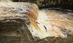Salmon Jumping (Derbyshire Harrier) Tags: autumn fish waterfall yorkshire salmon running 2012 yorkshiredales 2014 atlanticsalmon spate riverribble cloured stainforth stainforthforce migratoryfish