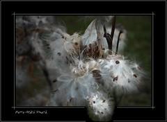 l'asclpiade... ( P-A) Tags: milkweed nikond200 asclpiade lysdor pierreandrsimard planteauxperruches herbeouate plantemagnifiquelautomne