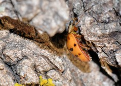 the house on elm (laurie_frisch) Tags: autumn winter lake fall lady bug insect cool interesting insects iowa bugs rapids cedar ladybird ladybug behavior elm overwintering
