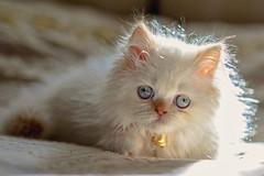miss cat the blue eyes (koolandgang) Tags: baby cat persian kitten feline bell bokeh kitty 85mm boke pussycat kedi misket nikon85mmf18 irankedisi bokehlicious d700 kedici misscat redpointhimalayan