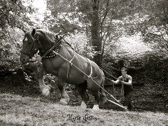 working horse (3) (Marie Jestin) Tags: horse nature animals cheval brittany bretagne natura chevaux drafthorse côtesdarmor chevalbreton