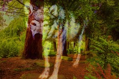 Spirit of the Timber Wolf (Cyndy Dff) Tags: fairytale woodland wolf spirit canine wildanimal ghostly wilddog rosshall glasgow2013