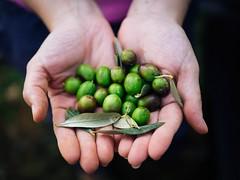 Olives II (Cadenela) Tags: harvest olive oil organic istria istra cadenela